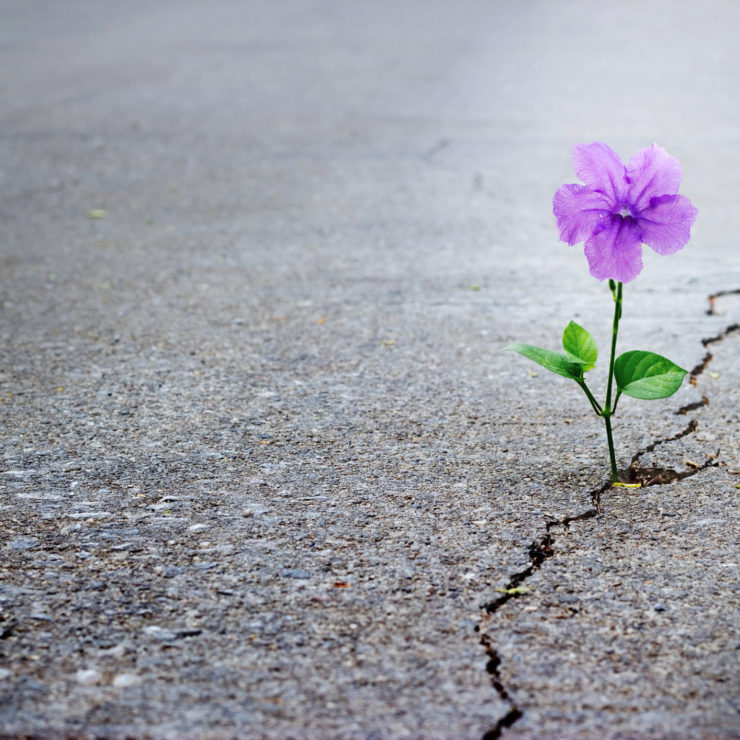 Purple Flower Blooming In A Concrete Crack Showing Resilience
