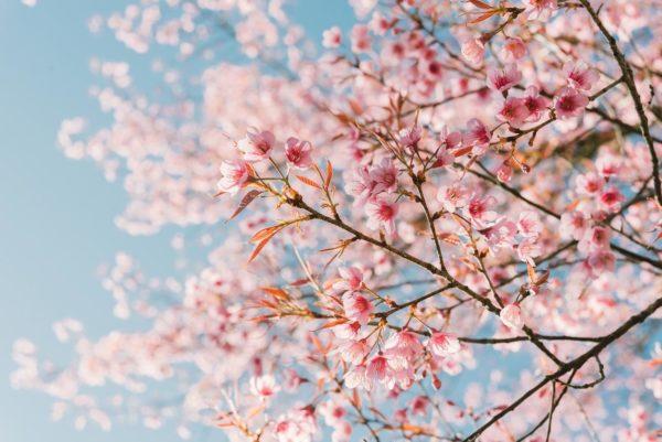 Cherry Blossoms Web