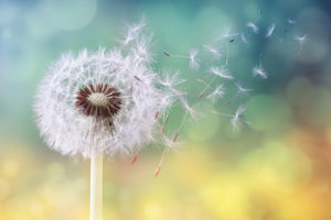 Dandelion As A Symbol For New Beginnings