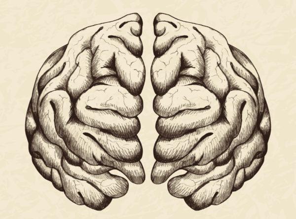Anatomical brain illustration by rudall30 via iStock